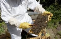 The Plight of the Honeybee: What Can Veterinarians Do to Help?
