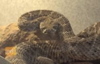 Helping Dogs and Rattlesnakes Co-exist in Arizona