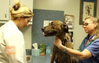An Update on the Veterinary Nurse Initiative