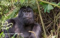 Spark Community Stories: Close Encounter with a Silverback Gorilla