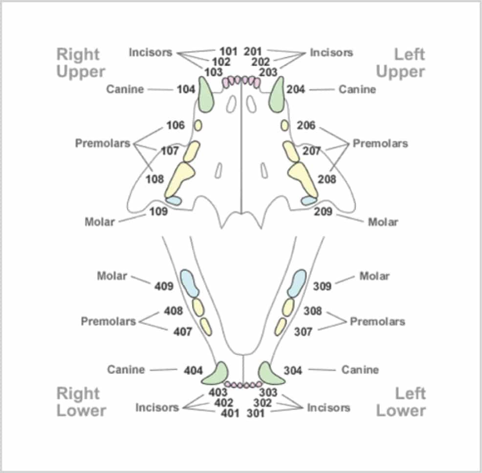 Figure 2 Modified Triadan Chart Feline Courtesy Of David Crossley Bvetmed