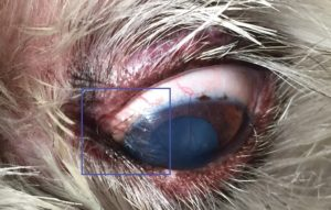 FIGURE 1. Medial canthal trichiasis arising from caruncle. Image courtesy of Portland Veterinary Specialists.