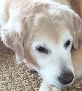 Emme, our 13-year-old golden retriever, during one of her mellow moments (after romping in the lake).