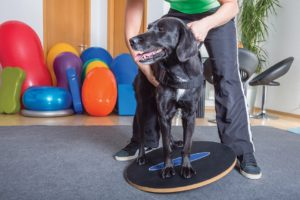 FIGURE 2. Wobble boards are another type of equipment that can be used for proprioception exercises. Image courtesy of shutterstock.com/msgrafixx.