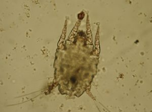 FIGURE 1. Microscopic image of an Otodectes mite. Image courtesy of Dr. Sheila Torres at the University of Minnesota.