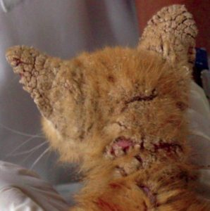 Figure 3. Kitten with severe crusted lesions on the ears and neck due to Notoedres infestation. Image courtesy of Dr. Sheila Torres at the University of Minnesota.