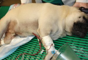 Figure 3. Emergency resuscitation of this comatose pug with disseminated intravascular coagulation due to severe heatstroke included administration of a blood transfusion.