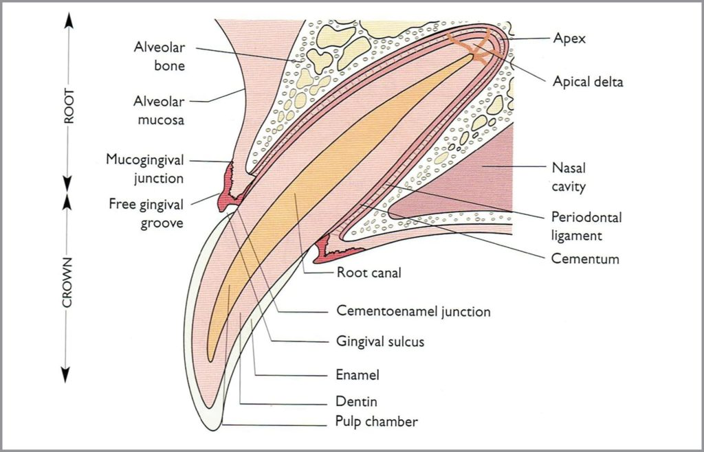 FIGURE 1. Cross-section of the periodontium. Reproduced with permission from Niemiec B. Small Animal Dental, Oral and Maxillofacial Disease: A Color Handbook. CRC Press; 2011.
