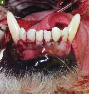 FIGURE 5B. Full-thickness flap after closure. Note the interdental sutures. Courtesy of R. Michael Peak, DVM, DAVDC