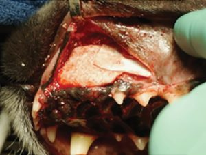 FIGURE 6. Barrier membrane placed to repair a maxillary defect. Image used by permission: Ossiflex Bone Membranes – Veterinary Transplant Services, Kent, WA
