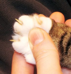 FIGURE 1. Older cats need more attention to grooming and claw care, which owners should be taught to do at home, if possible.