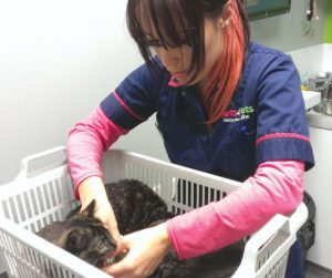 FIGURE 3. A cat having its nails clipped in the high-sided basket available in the consulting room. This cat previously had to be sedated to clip its nails but now happily sits in the basket for the procedure.