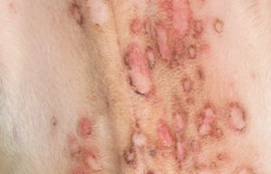 FIGURE 1. Small pustules in superficial pyoderma, with epidermal collarettes. Image courtesy of Yu of Guelph Veterinary Dermatology