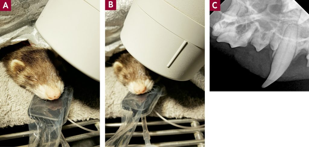 Figure 10. Maxillary radiographs can be obtained with the ferret in sternal recumbency. The angle of the tube head is 45°, and the sensor/film is lying flat above the tongue. (A) Positioning for maxillary canine. (B) Positioning for maxillary premolars/molar. (C) Radiograph showing canine to molar teeth.