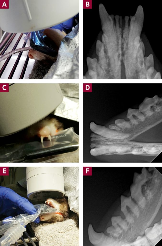 Figure 11. Mandibular radiographs can be obtained with the ferret in dorsal recumbency. The angle of the tube head is 45°, and the sensor/film can lie flat above or below the tongue. (A) Positioning for mandibular incisors. (B) Radiograph of mandibular incisors. Note the periodontal disease on first incisor. (C) Positioning for mandibular canines. (D) Radiograph of mandibular canines. (E) Positioning for mandibular premolars/molars. (F) Radiograph of mandibular premolars/molars (incomplete view of the last molar). Note the resorption on the distal root of the first molar.
