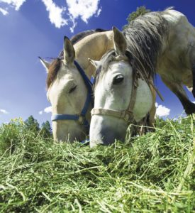 Horses come into contact with cantharidin by ingesting alfalfa hay that has been infested by blister beetles.