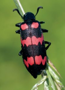 BLISTER BEETLES are generally pollen feeders and can be found on alfalfa blossoms.