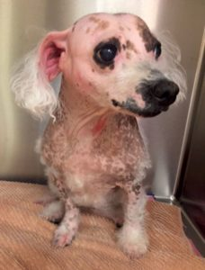 FIGURE 2. A bichon showing the extreme effects of doxorubicin-induced alopecia