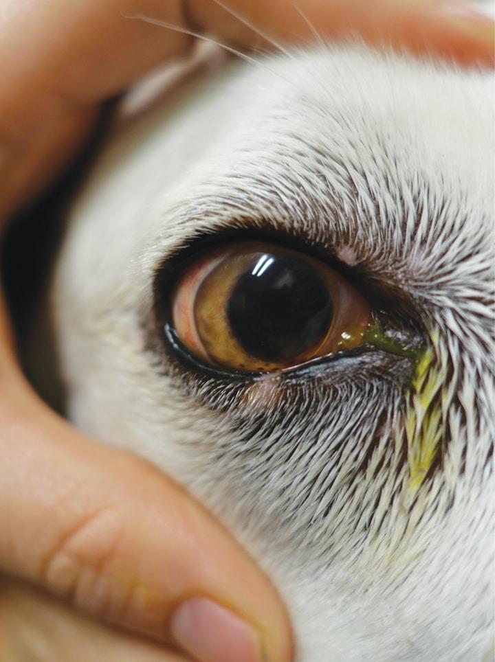 Canine Uveitis and the Veterinary Technician   Today's Veterinary Nurse