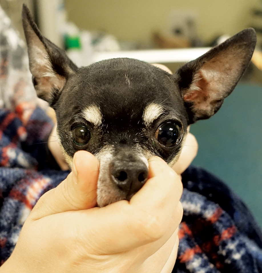 Canine Uveitis and the Veterinary Technician | Today\'s Veterinary Nurse