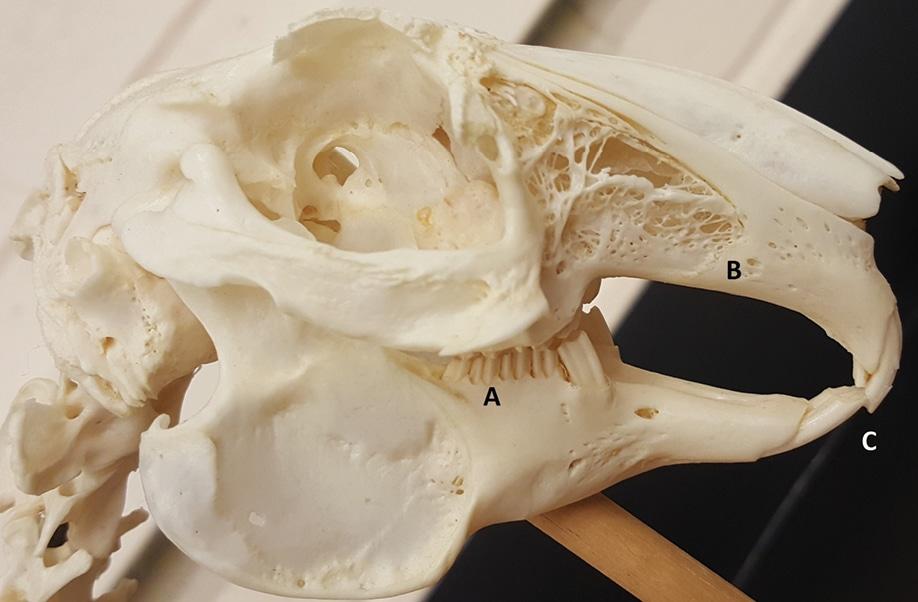 Rabbit Dentistry Todays Veterinary Nurse
