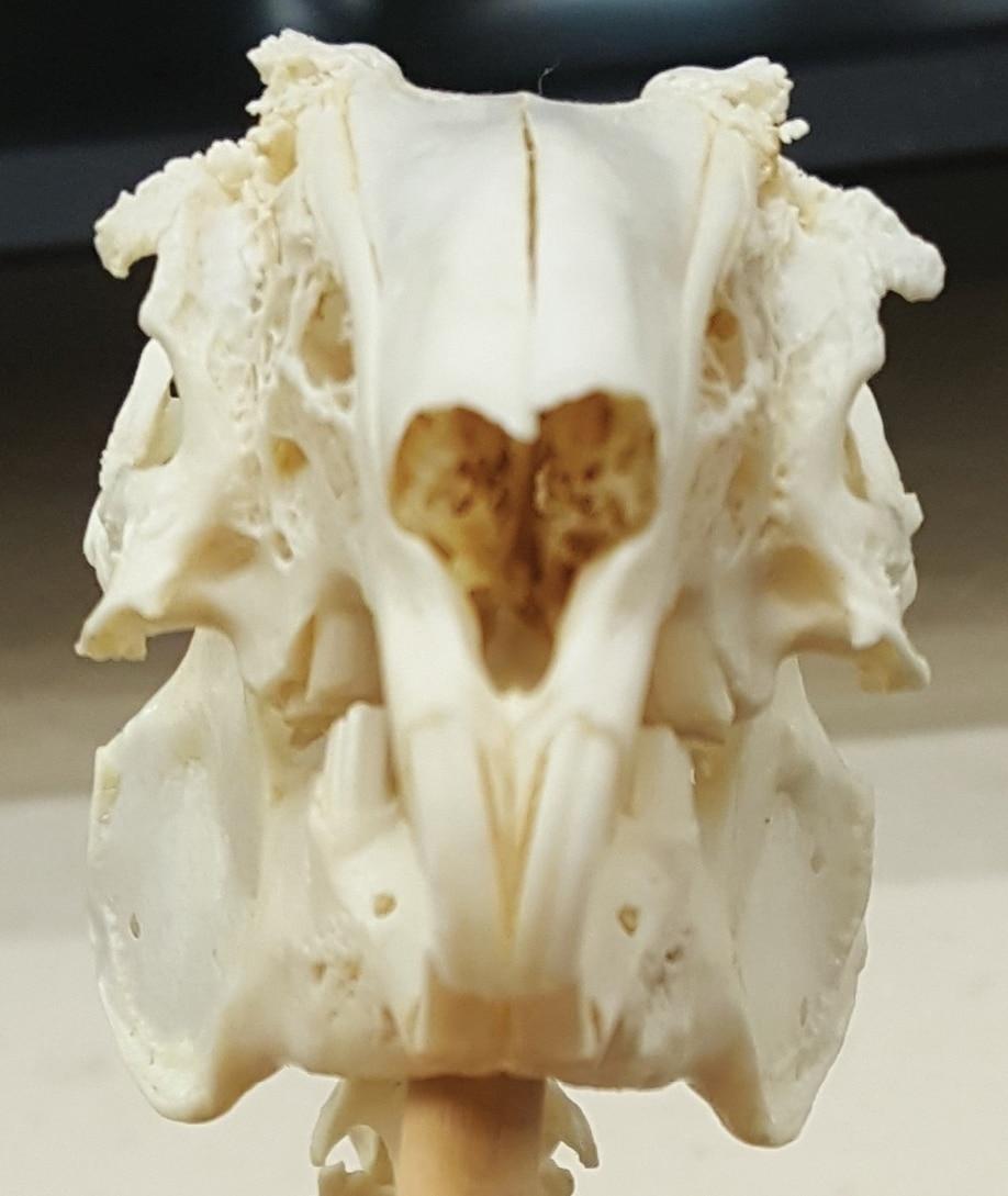 Rabbit Dentistry | Today\'s Veterinary Nurse