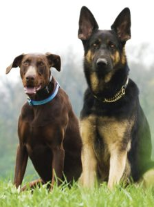 BREED PREDISPOSITION Discospondylitis is most commonly seen in young to middle-aged medium- to large-breed dogs. Predisposed breeds include Great Danes, boxers, Rottweilers, English bull dogs, German shepherd dogs, Doberman pinschers, and Rhodesian ridgebacks.