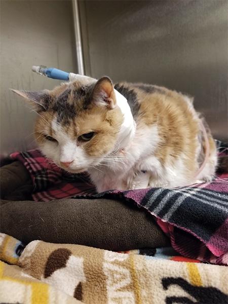 Me-oww! Managing Chronic Feline Pain | Today's Veterinary Nurse